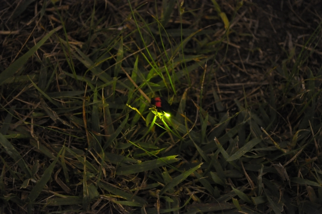 Japanese firefly glowing in the grass