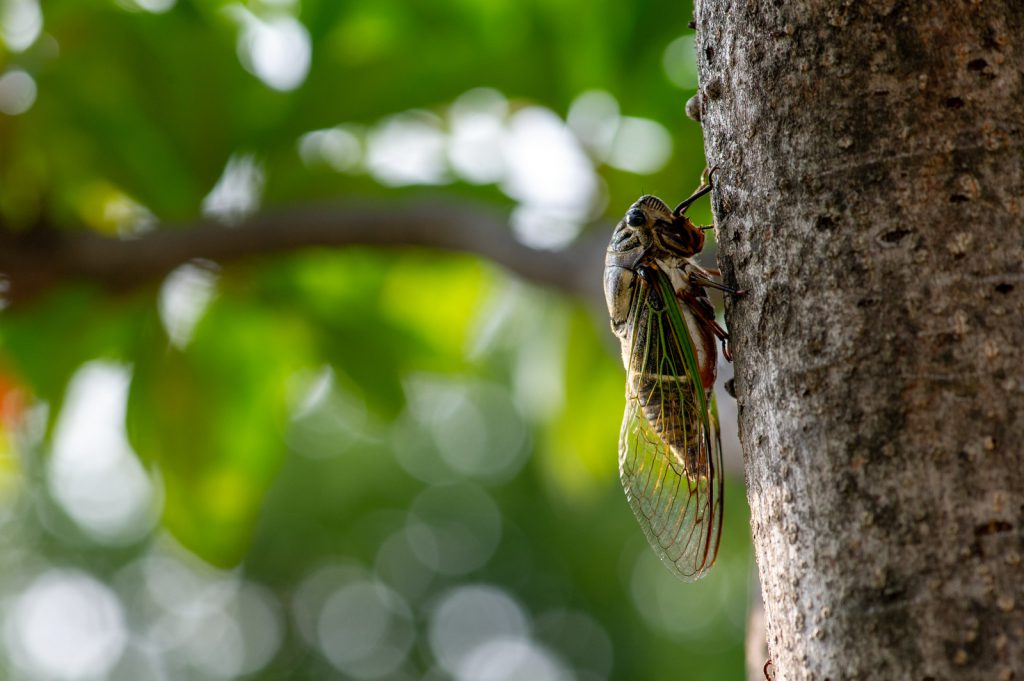 Japanese cicada on a tree