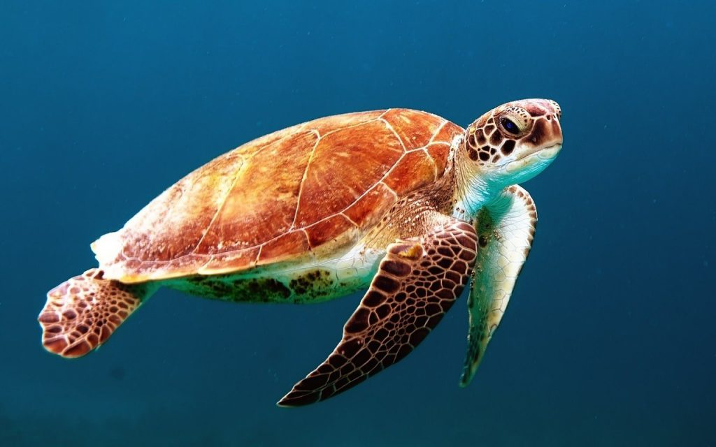 A turtle is swimming in the sea