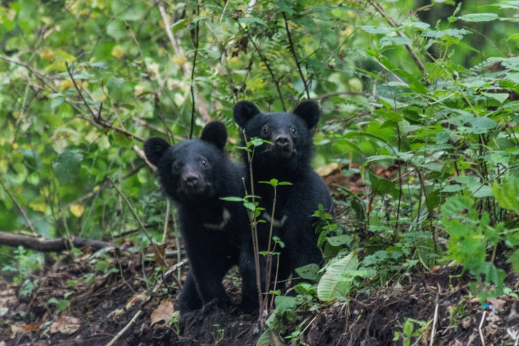 Two shy baby black bears.
