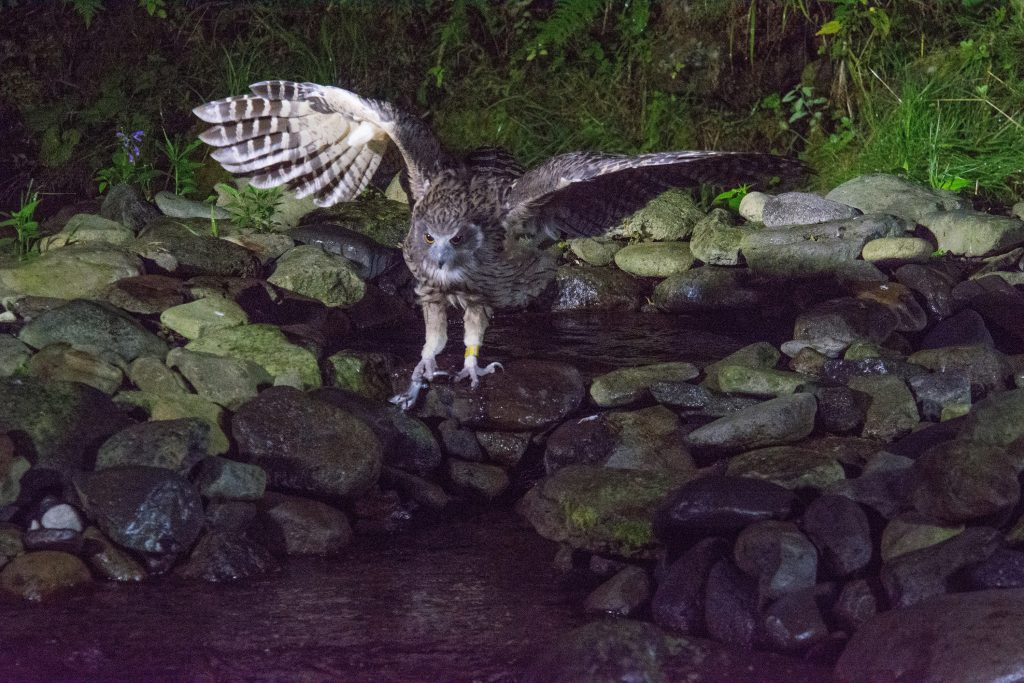 An owl about to land