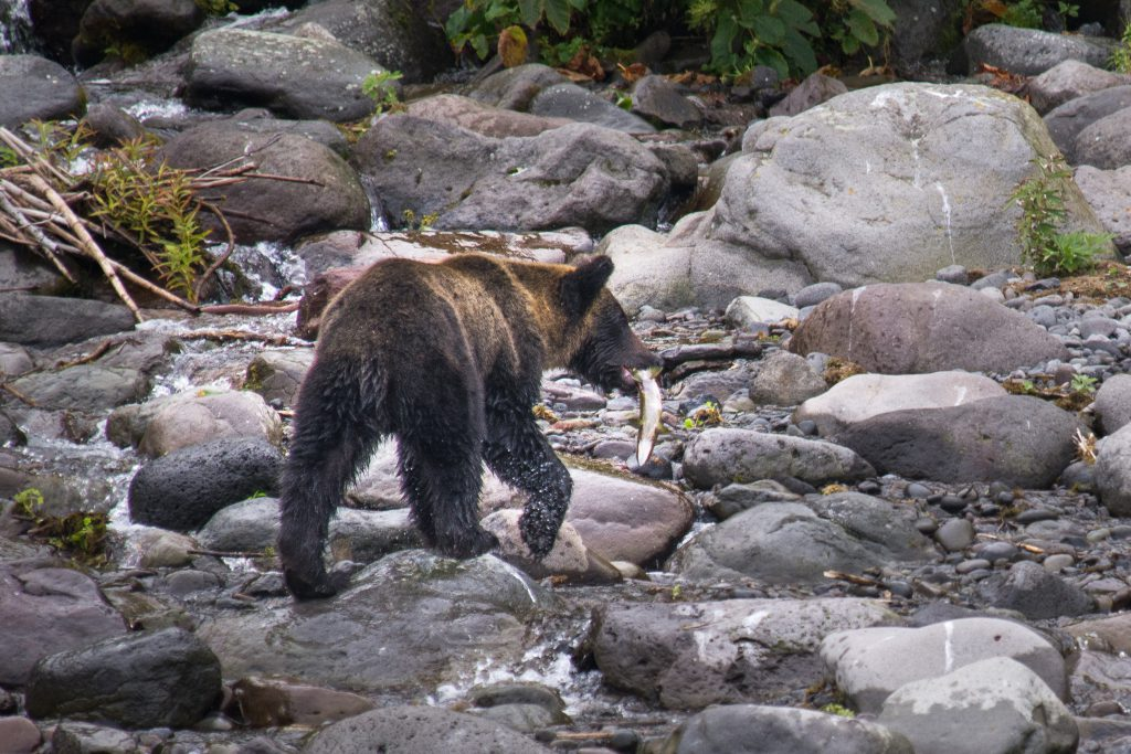 A brown bear holding a salmon in its mouth.