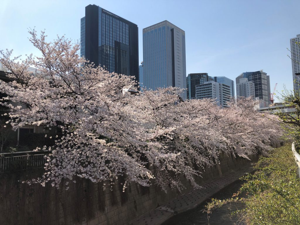 Picture of a river with fully bloomed cherry blossoms