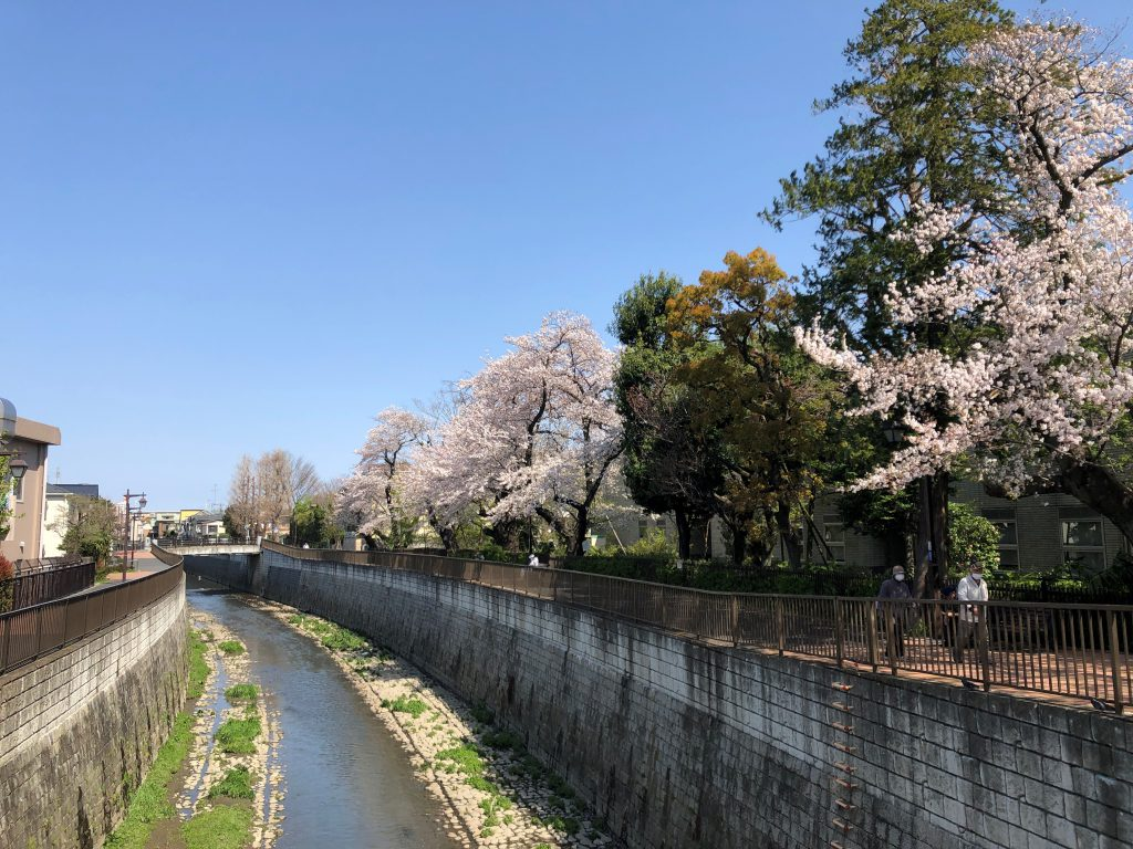 Some cherry blossom trees along the river.
