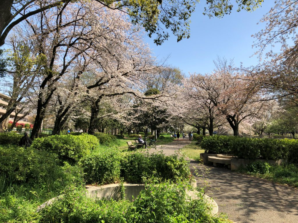 The inside of a park with blooming cherry blossoms