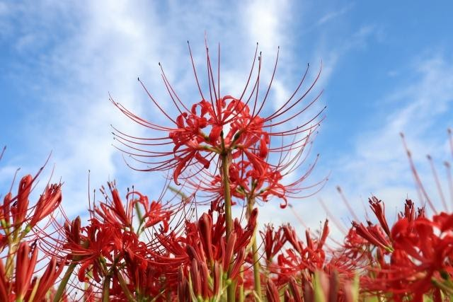 A red spider lily